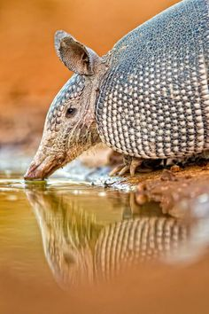 ** Banded Armadillo by Fred Lord.
