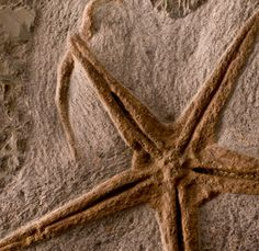 This fossil starfish has been around for about 500 million years.