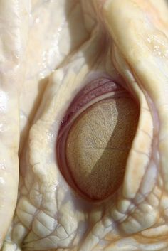 awesome eye photo. is it an albino alligator?