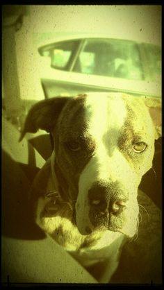 American Bulldog is Love