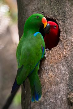 A pair of eclectus parrots. The male is the green one. In Port Douglas, Far North Queensland.