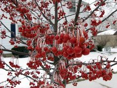 Malus Red Jewel - persistent red fruit for great winter color!  Tree reaches 15' tall x 12' wide, disease resistant, white flowers in spring
