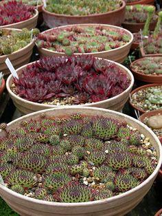 sempervivum, colors, plants, david edward, hens, greenhous, succul, garden, winter decorations