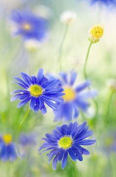 Mandy Disher cornflow blue, blue daisi, color, mandi disher, blue flower, daisi dear, flower girls, blues, beauti flower