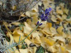 Lavande sur l'or du gingko / Blue lavender on golden gingko