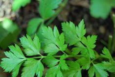 Parsley is awesome--5 parsley recipes