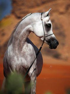 Arabian mare Tehama Ballalina