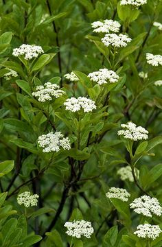 Viburnum Winterthur - aromatic flowers; foliage tranform to wine-red in fall; berries progress from light pink to dark pink to bright blue.  Plant together with Brandywine Viburnum for a bumper crop of berries on both plants.