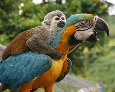 Squirrel Monkey and Amazon Parrot   :)