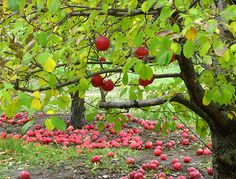 appleorchard, orchards, twin cities, seed, fruit trees