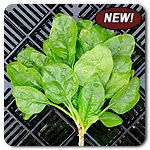 Organic Butterflay Spinach