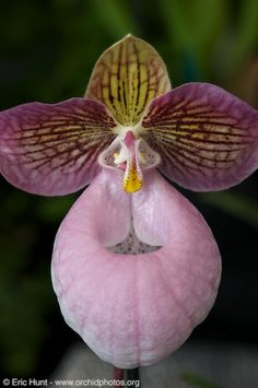 Paphiopedilum micranthum - Pacific Orchid Exposition 2010!