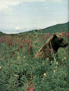 retro photography, big bear, teddy bears picnic, baby animals, flower fields, flowers, animal babies, baby bears, grizzly bears