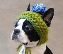 """Only I could make this hat look dignified. You know it."" -Boston Terrier"
