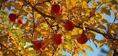 fruit tree in autumn
