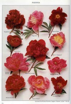 Peonies, my favorite flowers.