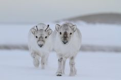 It's December already? How about some baby reindeer?
