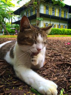 Hemmingway House Key West - Yes, I saw a 6-toed cat, and it looked remarkable similar to this one!