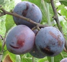 Plum Tree Care - click for additional pages  #food #fruit #edible #gardening