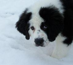 Newfoundland / Saint Bernard Mix - OMG - so cute!