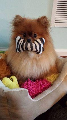 Pomeranians are so cute.