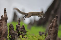 "Squirrel Olympics ""Cypress Knee Jumping"" event!      by Linn Smith, via 500px"