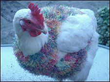 """A woman from Oxfordshire has started knitting sweaters for rescued battery hens that have lost their feathers.  Jane Blaine, of Eynsham, said when a friend first asked her to knit jumpers for chickens she thought it was a joke.  Ms Blaine, who has previously made coats for dogs, said: """"When I saw these poor battery hens without any feathers, I thought I'd give it a try.""""  The jumpers are made from eyelash wool and were specially designed after the chickens' measurements were taken."""