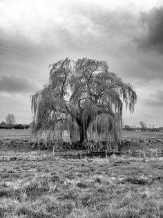 Weeping Willow tree in field by broo_am, via Flickr