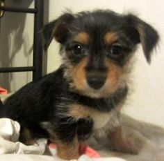 Bentley is an adoptable Yorkshire Terrier Yorkie Dog in Belleville, MI. This laid back 9 week old  is full of love....