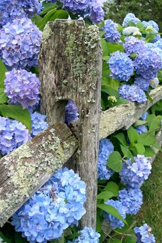 love the fence and hydrangeas