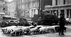 Pigs crossing Camden Road in 1931