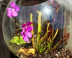 DIY Carnivorous Plants in Hanging Terrariums. I have this exact fish bowl.. I'm going to this with it!