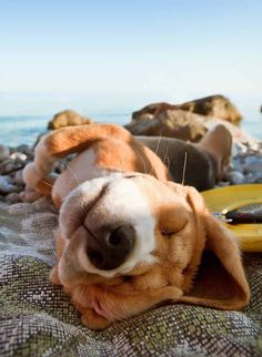 After a long day at the beach, this #Beagle #pup unwinds with a snooze... Click on this image to see more cute #puppy naptime pictures