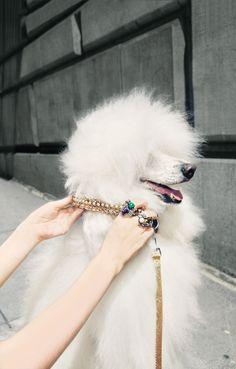 anim, dogs, pet, coolers, standard poodl, puppi, walk, poodles, hotels