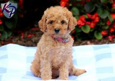 Mia – Cavapoo Puppy  www.keystonepuppies.com #keystonepuppies  #cavapoo