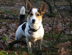 Corgi and Jack Russell Mixed Breed