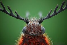 Not a reindeer by nikolarahme, via Flickr. Coleoptera, Elateridae, Anostirus purpureus.