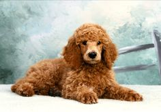 Red Standard Poodle puppy.