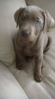 Another silver lab
