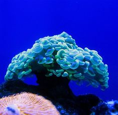"""""""Coral reefs are underwater structures made from calcium carbonate secreted by corals. Coral reefs are colonies of tiny animals found in marine waters that contain few nutrients."""""""
