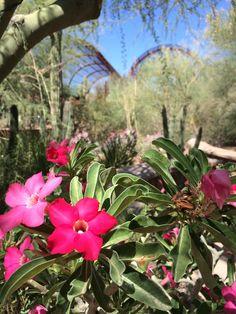 Desert rose (adenium) blooming near the Cactus and Succulent Galleries.