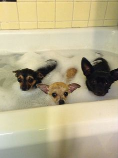 Chihuahua bath time