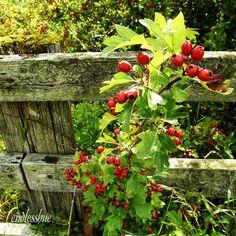 Hedgerow fence.England