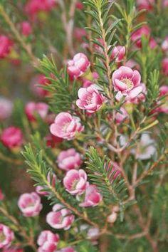 Wax Flower bush