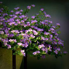 http://jeffreyandme.tumblr.com/ Bacopa 'Lavender Storm' (door Noorderland)