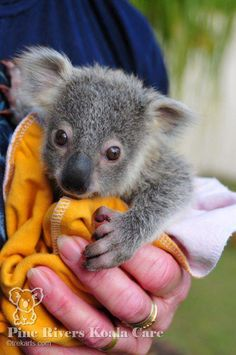 Orphaned baby koala at Pine Rivers Koala Care