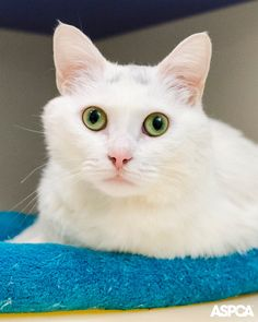 Gia is our Pet of the Week! This sweet girl has mesmerizing eyes and asthma, so a non-smoking home would be best. Adopt this 2 year-old cat today!
