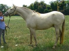 Andalusian/Standardbred-X Handsome Boy!