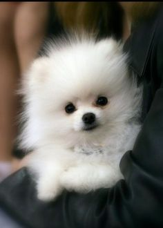 Pomeranians are my favorite breed of dog.