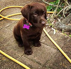 Chocolate lab puppy. Adorable.